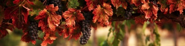 360 px wide Grapes - click to see 2,000 px wide Grapes!