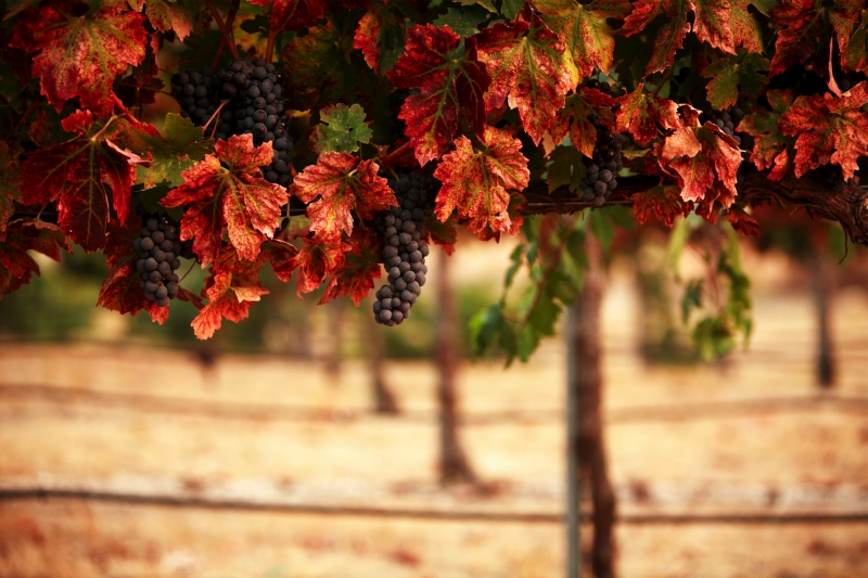360px wide Grapes – click to see 800px version