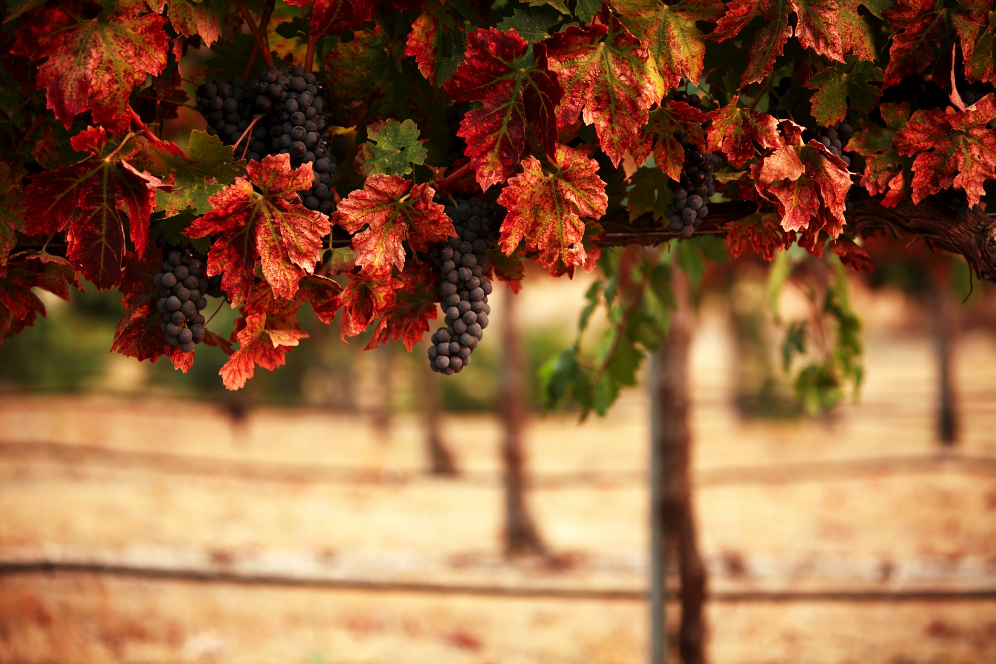 Grapes - 2,000 px wide at full quality 880KB